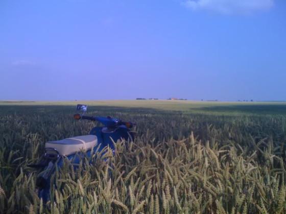 Eine Schwalbe im Kornfeld